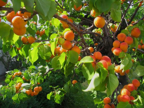 plantas-venenosas-para-tu-gato-que-no-debes-plantar-en-tu-jardin-albaricoquero