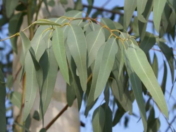plantas-venenosas-para-tu-gato-que-no-debes-plantar-en-tu-jardin-eucalypto