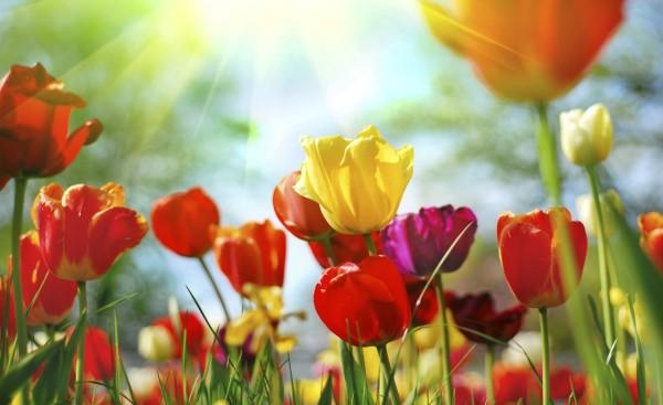 plantas-venenosas-para-tu-gato-que-no-debes-plantar-en-tu-jardin-tulipanes