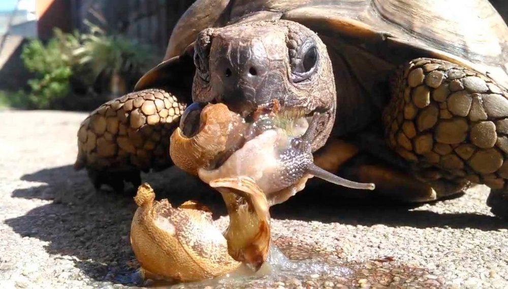 cuidados-de-las-tortugas-tierra-comiendo
