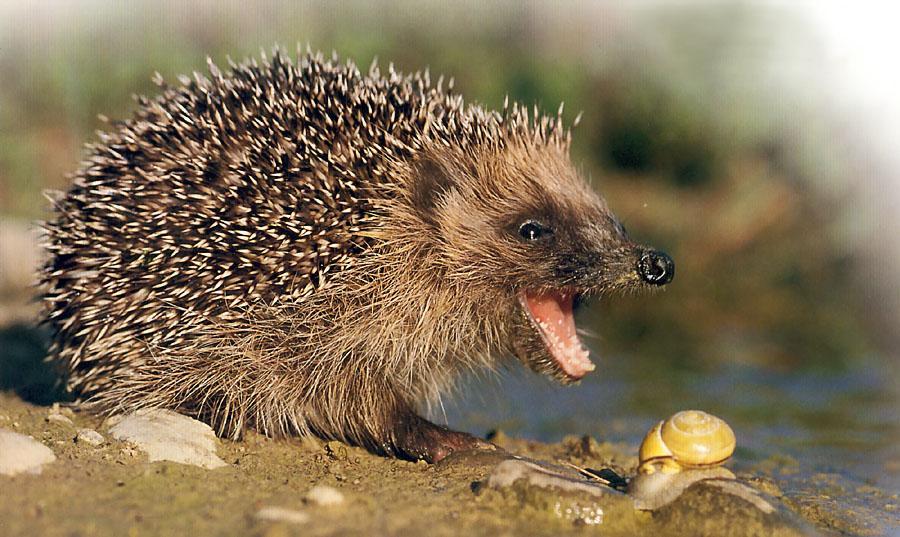 Qu Comen Los Erizos Animalesmascotas