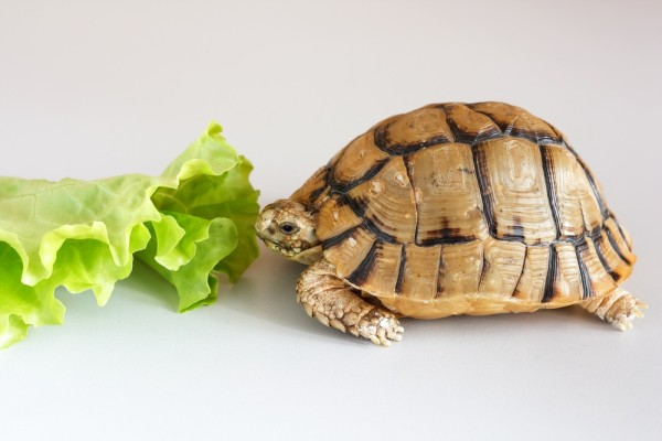 que-comen-tortugas