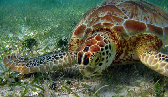 que-comen-tortugas-marinas