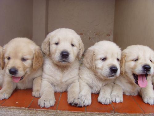 cuanto-dura-el-embarazo-de-un-perro-cachorros