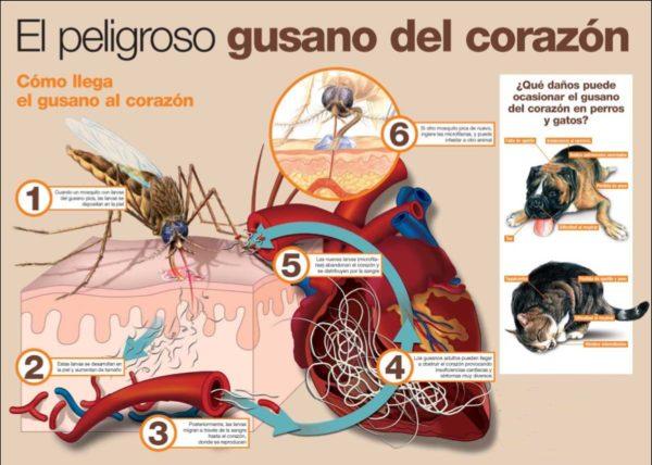 gusano-del-corazon-parasitos-perros-los-sintomas