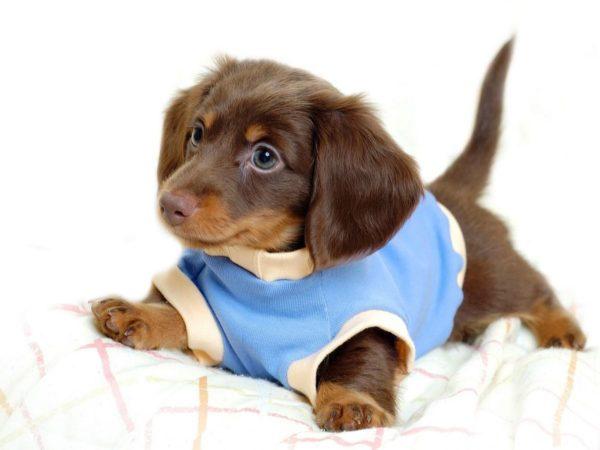 gusanos-del-corazon-parasitos-en-perros-cachorro