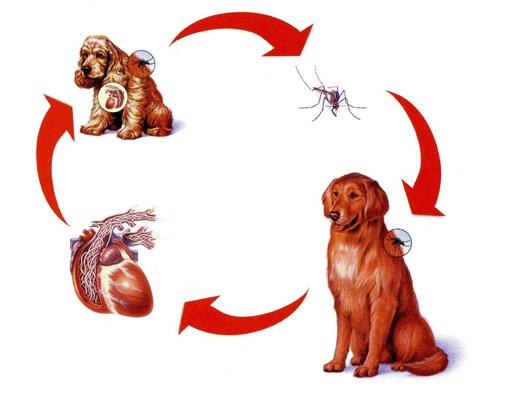 gusanos-del-corazon-parasitos-en-perros-ciclo-gusano