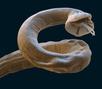 gusanos-del-corazon-parasitos-en-perros-filaria