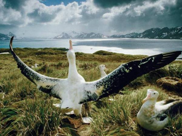 albatros-alas-grandes