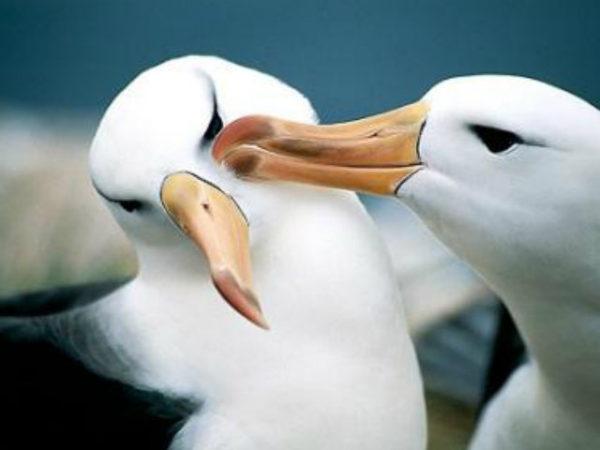 albatros-beso-pareja