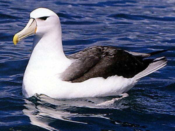 albatros-en-el-agua