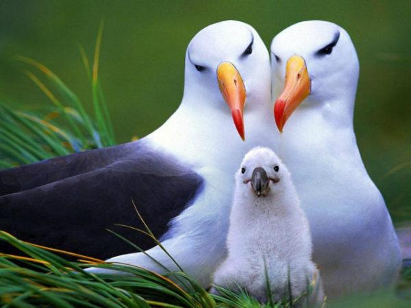 Resultado de imagen para albatros ave