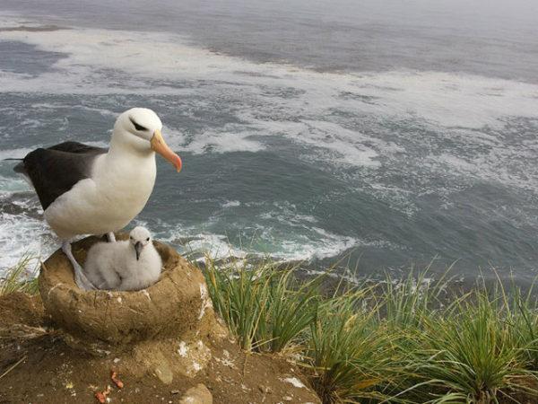 albatros-nido