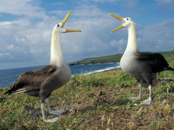 albatros-picos