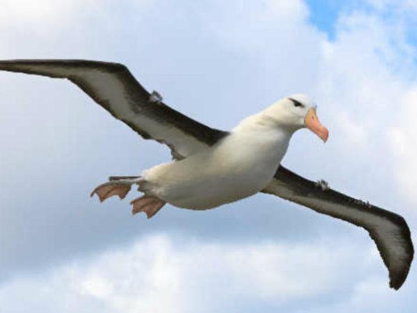 albatros-volando