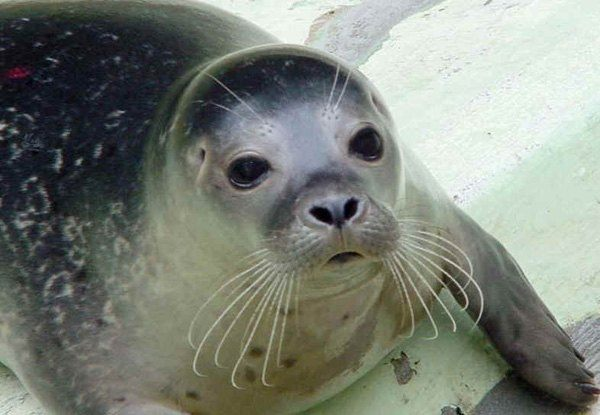 animales-marinos-foca-monje-peligro-de-extincion