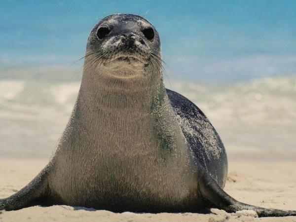 animales-marinos-foca-monje