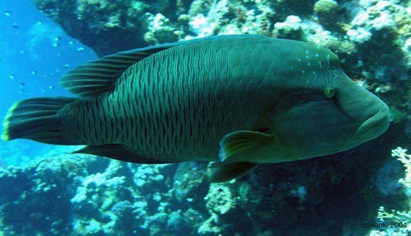 animales-marinos-pez-napoleon-peligro-de-extincion