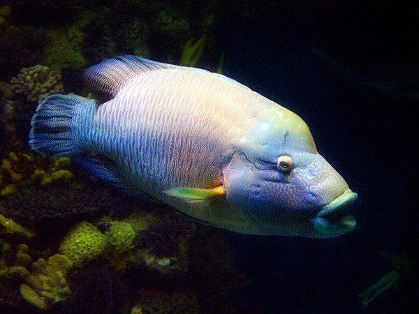 animales-marinos-pez-napoleon