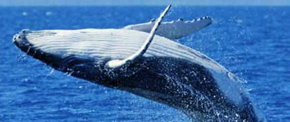 ballena-azul-2