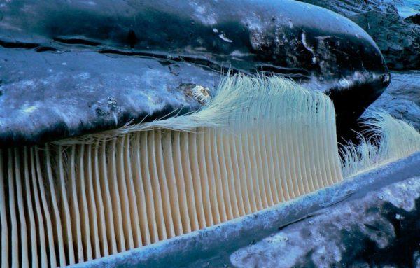 ballena-azul-cerdas-boca