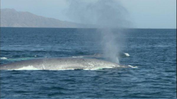 ballena-azul-respirando