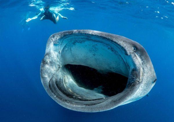 ballena-azul-tamano