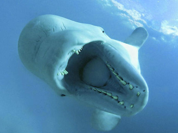 ballena-beluga-dientes