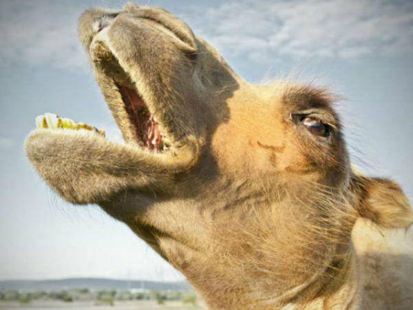 camello-de-arabia-cabeza