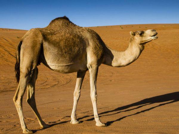 camello-de-arabia-cuello
