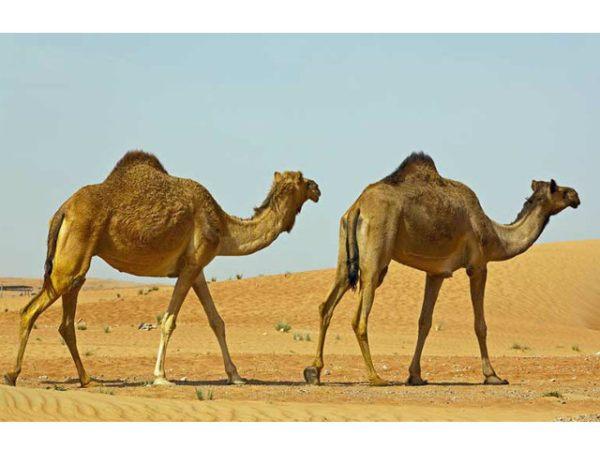camello-de-arabia-desierto-caminando