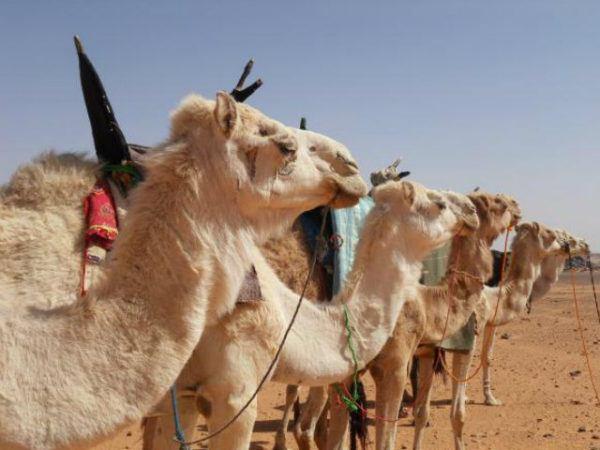 camello-de-arabia-dromedarios