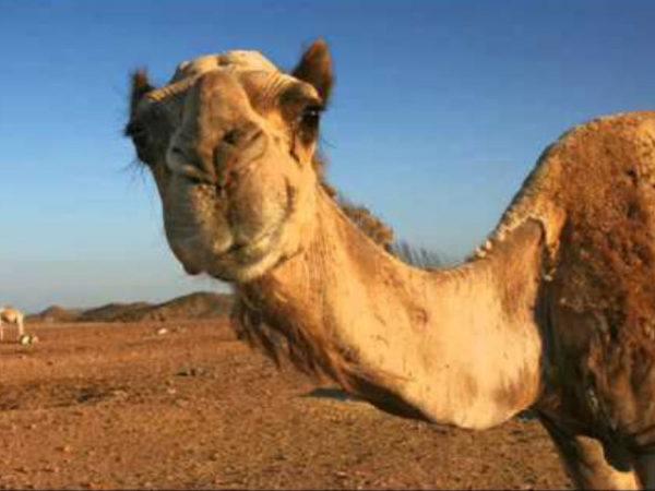 camello-de-arabia-ojos
