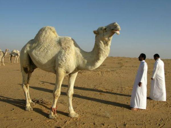 camello-de-arabia-piel