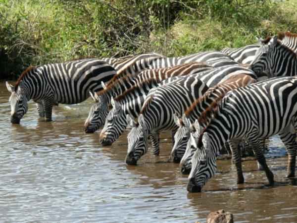 cebras-bebiendo-agua