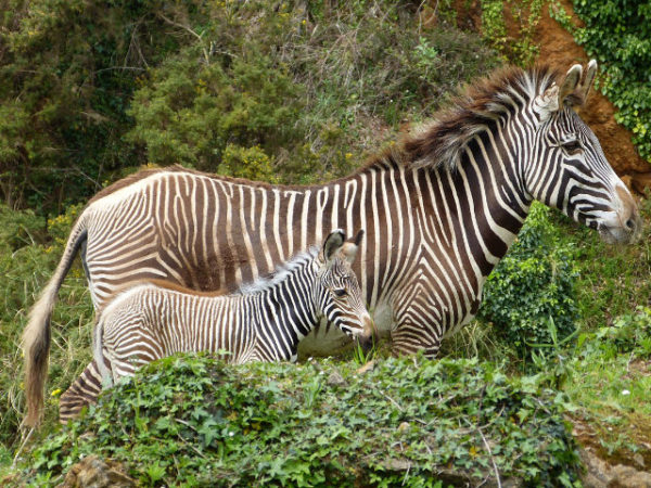 cebras-con-cebra-bebe