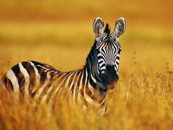 cebras-sabana-africana