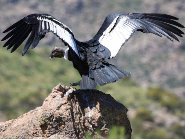 condor-andino-alas