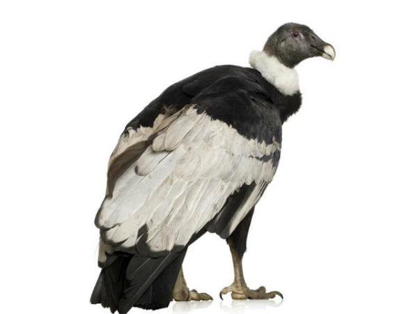 condor-andino-cuello-blanco