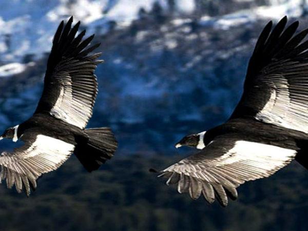 condor-andino-pareja