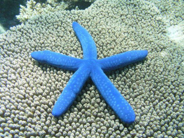 estrella-de-mar-azul