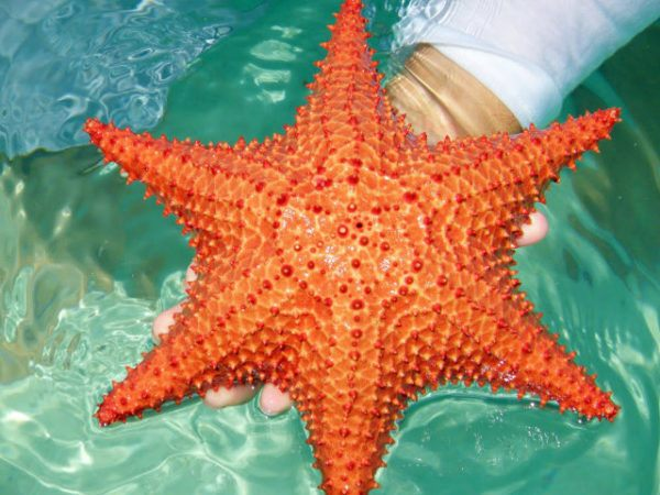 estrella-de-mar-roja