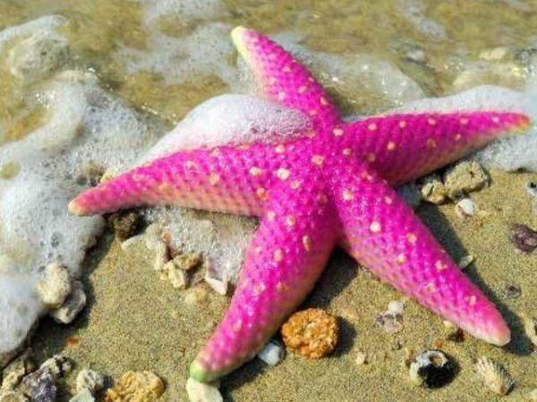 estrella-de-mar-rosa