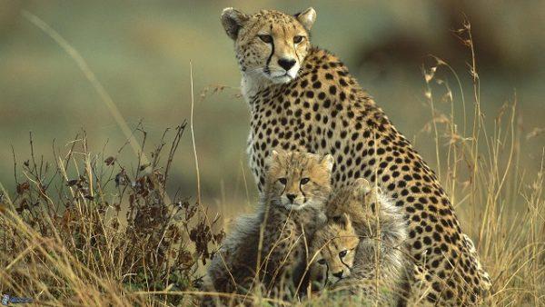 guepardos-cachorros-1