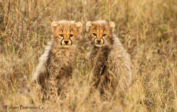 guepardos-cachorros-camuflados