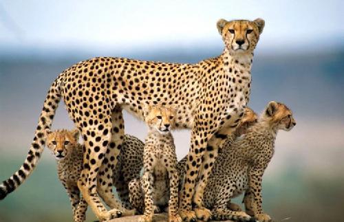 guepardos-familia-de-guepardos
