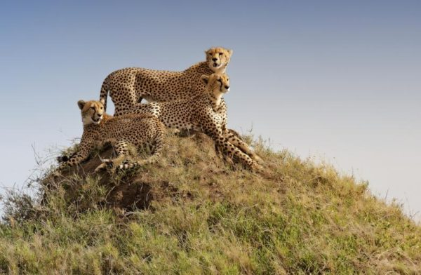 guepardos-oteando