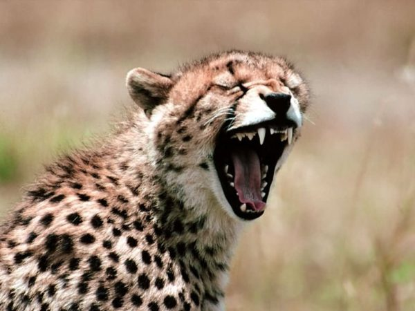 guepardos-vocalizacion