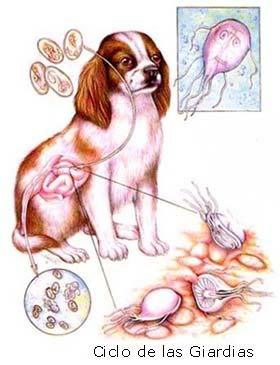 heces-amarillas-en-perros-causas-y-tratamiento-giardiasis