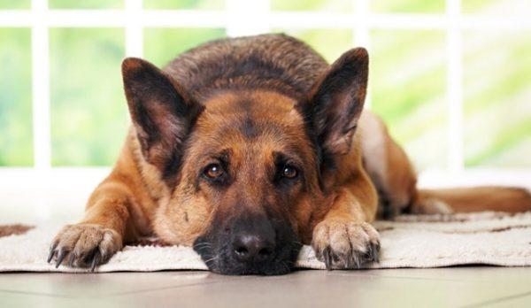 heces-amarillas-en-perros-causas-y-tratamiento-malestar